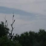 cormorani delta dunarii
