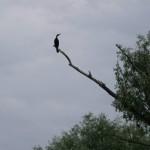 cormoran delta dunarii