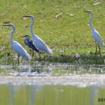 egrete si starci Delta Dunarii