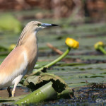 Yellow Heron