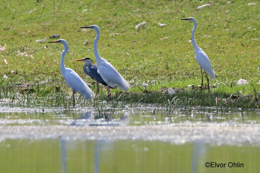 starc cenusiu - egrete mari - delta dunarii