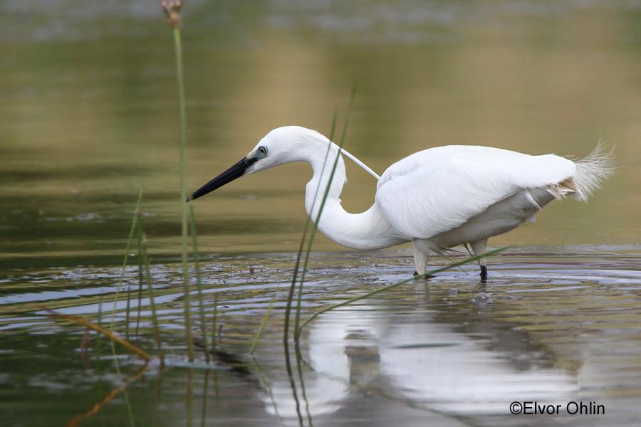 Birdwatching   VeradaTour – Excursii in Delta Dunarii