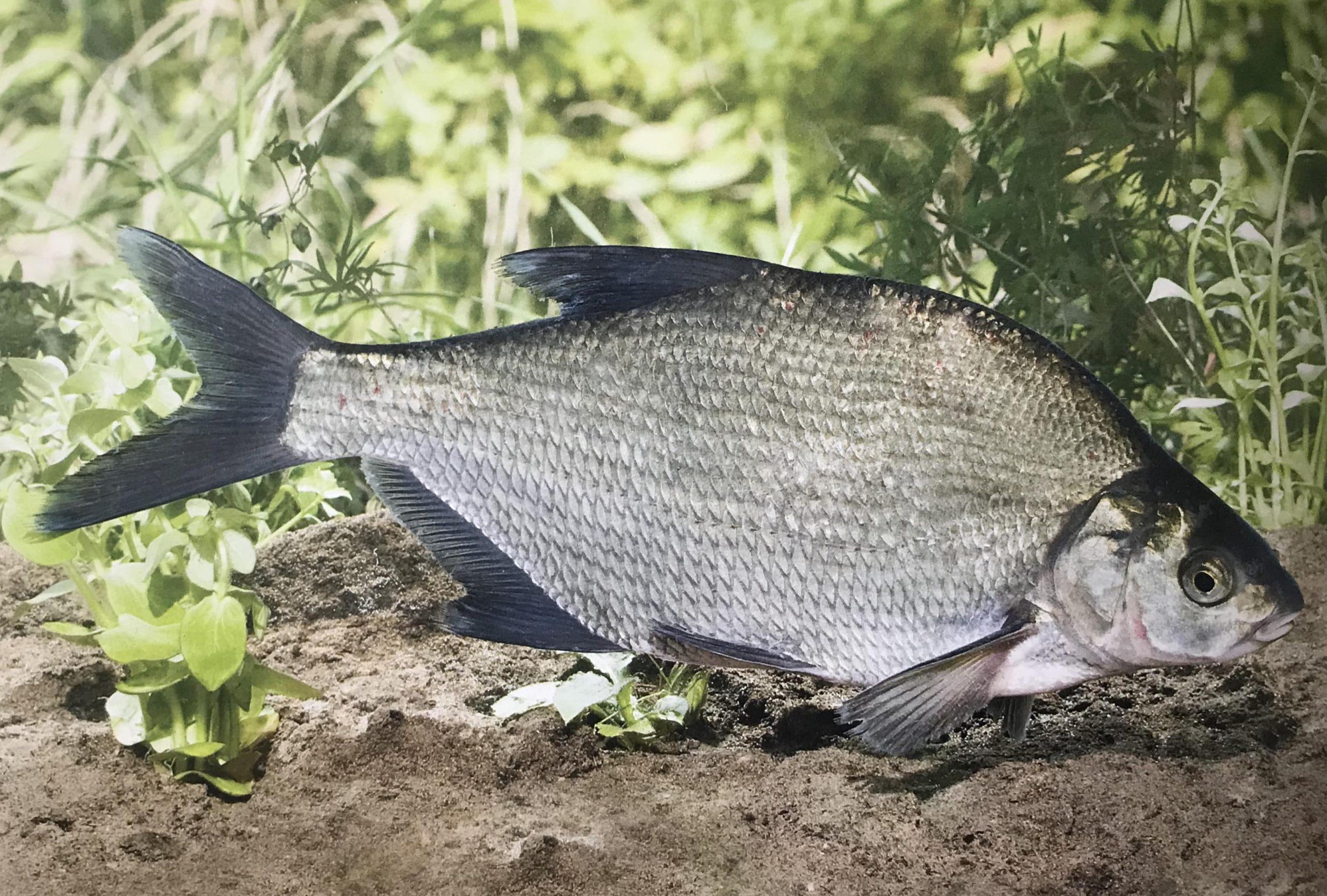 Peștii din Delta Dunării: Plătică (Abramis brama)